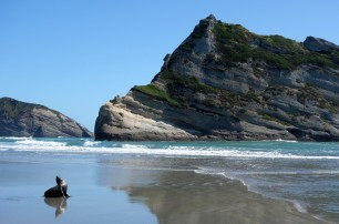 Seal enjoying Wharariki Beach in New Zealand