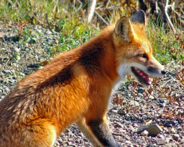 Red Fox in Denali National Park